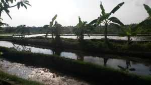 De rijstvelden rond Canggu. Foto: Jasmijn Groot.